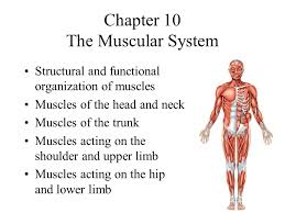 chapter the muscular system ppt video online  chapter 10 the muscular system