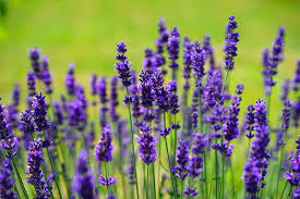 english lavender lavandula angustifolia garden design calimesa ca
