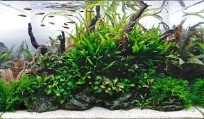 Low Light Cold Water Aquarium Plants Aquarium Gardens Co2 Set Up Guide