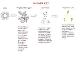 Energy Flow Chart Photosynthesis And Cellular Respiration Graphic Organizer