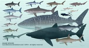 Types Of Sharks Chart Oceanography Lab At Dsc Alex Ur Irp Be Stressin Me Out