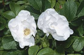 white japanese rose