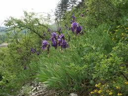 Iris (botanica) - Wikipedia