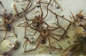 Human Skin Parasites Brown Recluse Spider