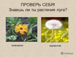 Презентация на тему ЛУГ И ЕГО ОБИТАТЕЛИ РАСТЕНИЯ ЛУГА  Знаешь ли ты растения луга КАЛЕНДУЛА ОДУВАНЧИК