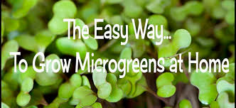 the easy way to grow microgreens at home