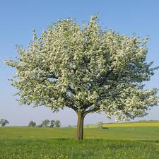 Moonglow Pear Pollination Chart Growing A Pear Tree In Your Home Garden