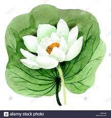 White Lotus Blüte mit grünen Blättern ...