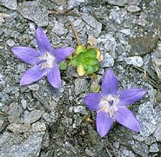 Campanula cenisia - Monaco Nature Encyclopedia