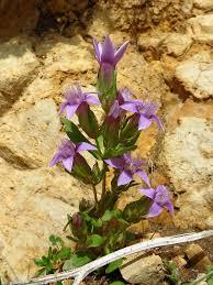 Gentianella anisodonta - Wikipedia
