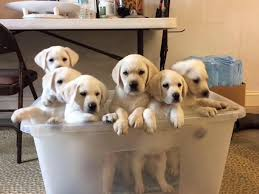 english yellow lab puppies.  Yellow In English Yellow Lab Puppies E