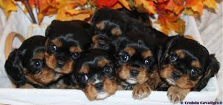 cavalier king charles spaniel black and tan puppy. Simple Cavalier Black U0026 Tan Cavalier King Charles Spaniel Puppies And Puppy E