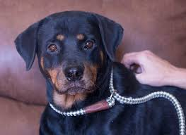 rottweiler dog mean. \u0027dari is available for adoption at @[156905404730:274:national mill dog rottweiler mean