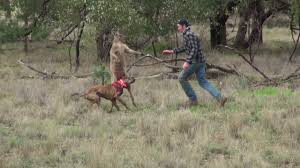 Man punches a kangaroo in the face to rescue his dog Original HD.