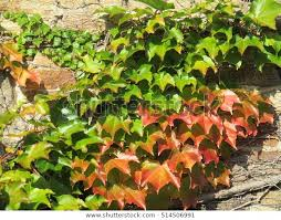 Old Stone Mill Colorful Ivy Lawrence Stock Photo (Edit Now) 514506991