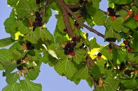 Pakistan Mulberry Tree  Mulberry Trees  Paradise NurseryMulberry Tree No Fruit