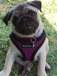 Pug Dog Itching Problems