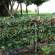 The Best Trees And Shrubs That Attract Deer And Turkeys  Garden Best Fruit Trees For Deer