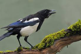 Small Picture Magpie Symbolic Meanings