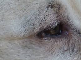 Hund warze am auge homöopathie