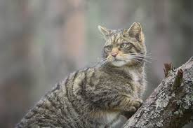 Wildcat - Cairngorms National Park Authority