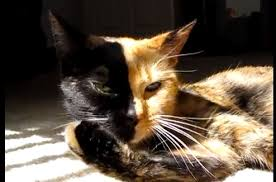 The Genetics Behind Venus, the <b>Mysterious</b> Two-Faced <b>Cat</b> | Smart ...