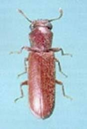 image of a powder post beetle