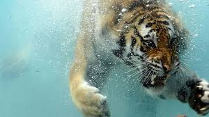 hd wallpapers 1080p underwater. Brilliant 1080p Tiger Underwater Wallpaper On Hd Wallpapers 1080p E