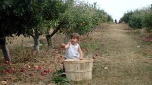 A young girl enjoys apple picking season at