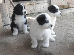 Vand Yorkshire terrier toy, pret, caini si catei de, vanzare