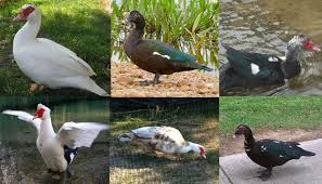 muscovy duck breed everything you