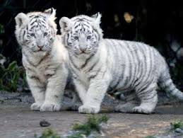 baby white tiger.  Tiger Baby WHITE Tigers And Baby White Tiger Pinterest