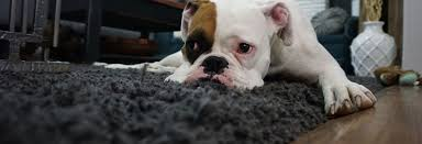 3 ways to clean dog vomit from the carpet