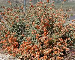 goat head weed killer. Delighful Killer Desert Mallow Is A Great Wildflower That Will Grow And Propagate In Your  Yard Especially Intended Goat Head Weed Killer