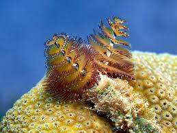 Christmas Tree Worms Spirobranchus Giganteus  MarineBioorgChristmas Tree Worm Facts