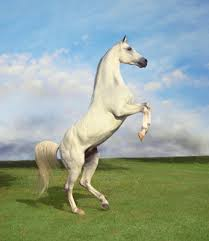 white horse rearing. Modren Horse White Horse Rearing  Photo10 With Horse Rearing R