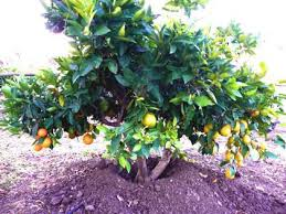 Fruit Cocktail Tree  3 Different Fruits On 1 Tree For Sale  Fast Fruit Salad Trees Usa