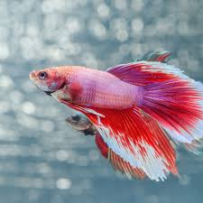 Petco Fish Chart Find Out How Long Betta Fish Live