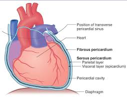 pericardial sac print heart structures flashcards easy notecards