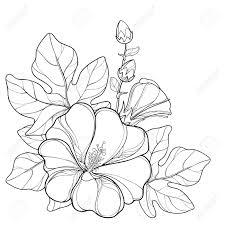 概要アレセア バラ色葵花芽や葉は白い背景で隔離の花束夏デザインと塗り絵の華やかな葵と輪郭のスタ