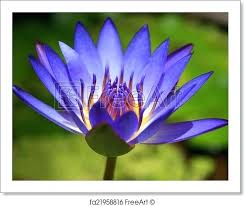 Purple Flower Quotes Agreeable Purple Lotus Flower And Free Art Print Of A Purple Lotus