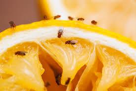 Small Black Flies In Kitchen Amazing Bathroom Fruit Flies Bathroom Design Ideas And Gnats In