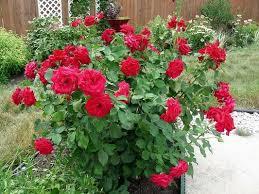 Aliexpresscom  Buy Promotion 100 Seeds  Pack The Rarest Fragrant Rose Plants