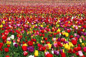 花畑の壁紙チューリップ