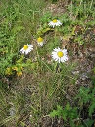 Tripleurospermum inodorum - Wikipedia