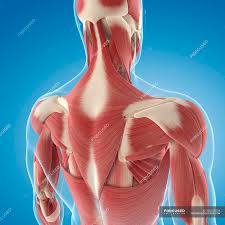 Anatomy back upper illustrations & vectors. Upper Back Musculature Muscle Groups Anatomy Stock Photo 160169344