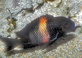 Tropheus Cichlids Fish Guide For Tropheus Sp Black Red