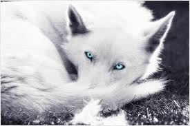 white wolf pup with blue eyes. Fine White White Wolf Pup With Ice Blue Eyes  Photo1 In Wolf Pup With Blue Eyes I