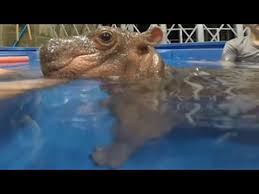 Premature Baby Hippo Goes for a Swim - YouTube