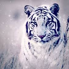 white tiger with blue eyes in snow. Wonderful Blue Animal Beauty Blue Eyes Details Naturaleza Snow Tiger Tigre On White Tiger With Blue Eyes In Snow N